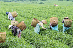 Farmers work on tea field, Bao Loc, Lam Dong, Vietnam Stock Photos