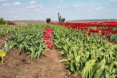 Farmers work on tulip field. Royalty Free Stock Photos