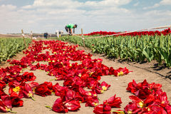 Farmers work on tulip field. Royalty Free Stock Images