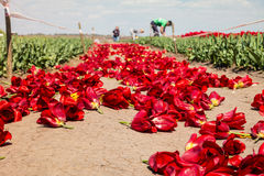 Farmers work on tulip field. Royalty Free Stock Photography