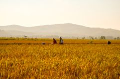 Yellow paddy and farmers at farmland royalty free stock images