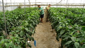 Farmers working in greenhouse. Farmer revising pepper plants in greenhouse stock video