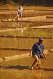Farmers working hard plowing on paddy fields to start the rice cultivation cycle or phases in the countryside of India