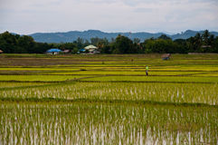 Farmers working planting rice. In the paddy field royalty free stock images