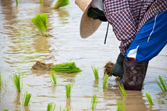 Farmers working planting rice. In the paddy field royalty free stock image
