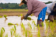 Farmers working planting rice. In the paddy field stock image