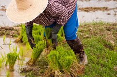 Farmers working planting rice Stock Photography