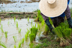 Farmers working planting rice. In the paddy field royalty free stock photography