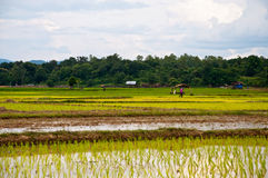 Farmers working planting rice. In the paddy field stock photos