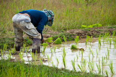 Farmers working planting rice Royalty Free Stock Photography