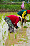 Farmers working planting rice Stock Image