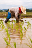 Farmers working planting rice Stock Photos