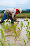 Farmers working planting rice Stock Images