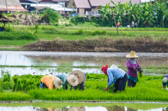 Farmers working planting rice. In Nan,Thailand Royalty Free Stock Photos