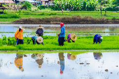 Farmers working planting rice. In Nan,Thailand Stock Images