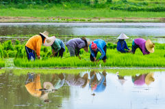 Farmers working planting rice. In Nan,Thailand Royalty Free Stock Image