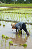 Farmers working planting rice in the paddy field Stock Photography