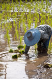 Farmers working planting rice in the paddy field Royalty Free Stock Photo