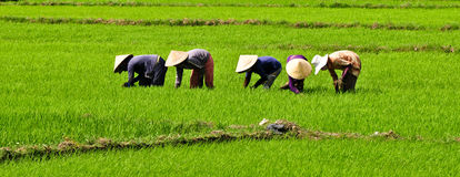 Farmers working on the rice field in Binh Dinh, Vietnam Royalty Free Stock Photos