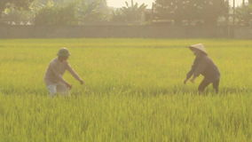 Farmers working on a rice field. stock footage