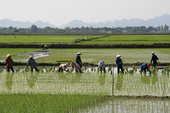 Farmers are working in a rice field near Tam Coc (Vietnam) Stock Image