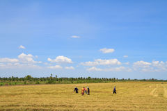 Farmers working in the rice field Royalty Free Stock Photos