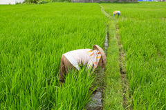Farmers working in the rice fields. Agriculture. Royalty Free Stock Photos