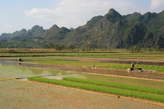 Farmers are working in rice fields near Tam Coc (Vietnam) Stock Image