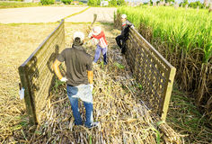 Farmers working on sugarcane field Stock Photo