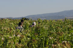 Farmers working in a Tobacco plant, Anatolia, Turkey Stock Image