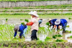 Farmers working transplanting rice seedlings Stock Image