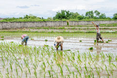 Farmers working transplanting rice seedlings Royalty Free Stock Photography