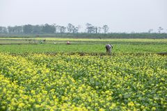 THAIBINH, VIETNAM - Dec 01, 2017 : Farmers working on a yellow flower field improvements. Thai Binh is a coastal province in the. Farmers working on a yellow royalty free stock images