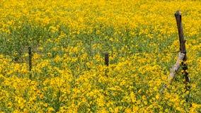 Farmfield avec les fleurs jaunes Photo libre de droits