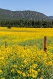 Farmfield con i fiori gialli Fotografia Stock