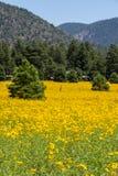 Farmfield con i fiori gialli Fotografia Stock Libera da Diritti
