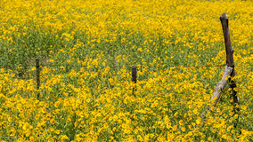 Farmfield met gele bloemen Royalty-vrije Stock Foto