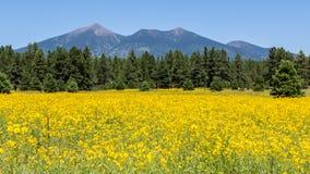 Farmfield met gele bloemen Royalty-vrije Stock Afbeeldingen