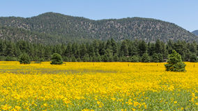 Farmfield met gele bloemen Stock Fotografie