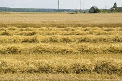 The farmhouse on the field of ripe wheat Stock Photo