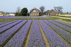 Farmhouse in Flowerfield. Traditional farmhouse in a purple flower field in Holland Stock Image