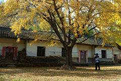 The farmhouse with ginkgo biloba Royalty Free Stock Photography
