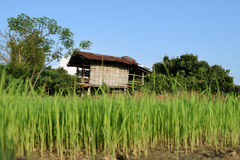 Farmhouse and green rice paddy fields . Royalty Free Stock Photo