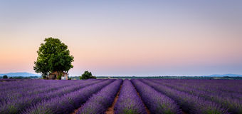 Farmhouse in midst of lavender fields royalty free stock photography
