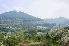 Farmhouse on mountainside ablaze with pear blossom Stock Image