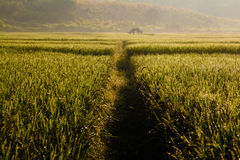 Farmhouse at paddy field Stock Images