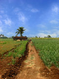 Farmhouse Path. A beautiful path leading to a farmhouse in the sugarcane fields in the Indian tropics Royalty Free Stock Photo