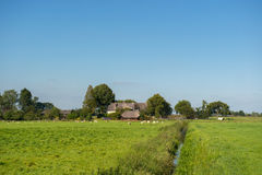 Farmhouse with sheep. Farmhouse with straw roof and sheep in Holland Royalty Free Stock Image