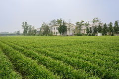 Farmhouses in land planted with Chinese chives Stock Photos