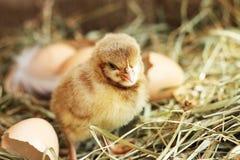 farming Изображение меньшего цыпленка на сене стоковое изображение
